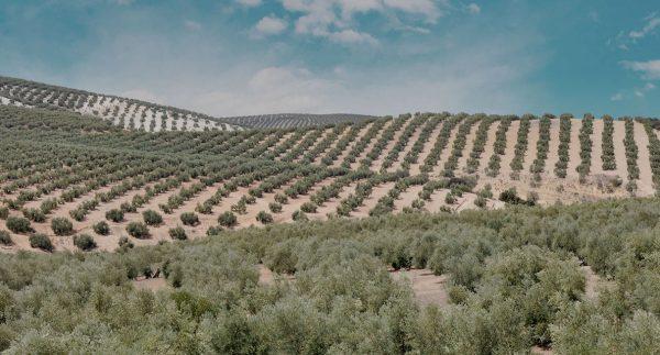 Elaboración Aceite de oliva de Almazara