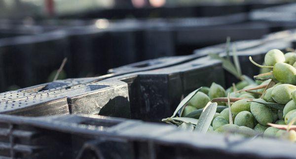 Elaboración aceite de oliva Almazara